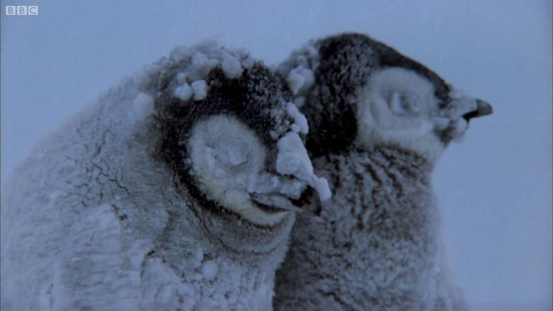 Penguin Chicks Struggle To Survive | Planet Earth | BBC Earth