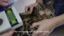 Вакцинация и чипирование котят Kitten vaccination and microchipping