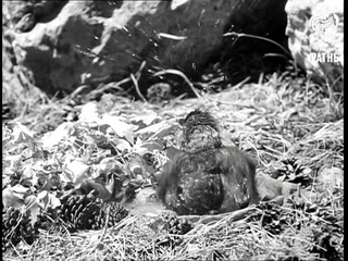 Animal Forest (1969)