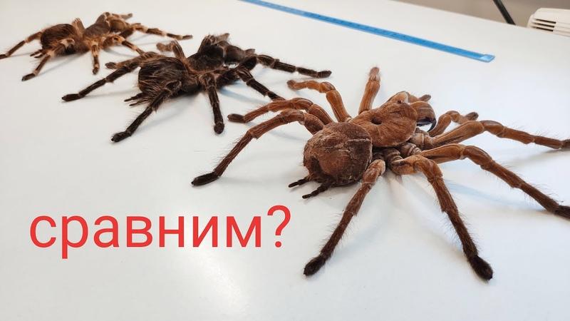 Будни фермы пауков птицеедов Сравнение размеров больших пауков