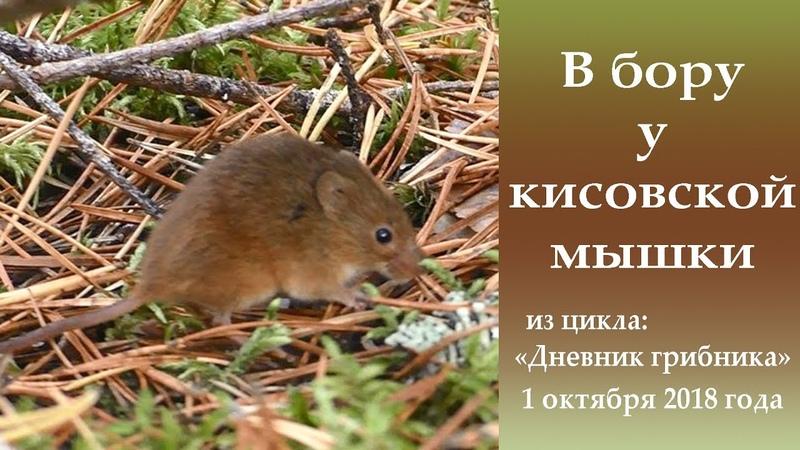 В бору у кисовской мышки. Дневник грибника 1 октября 2018 года.