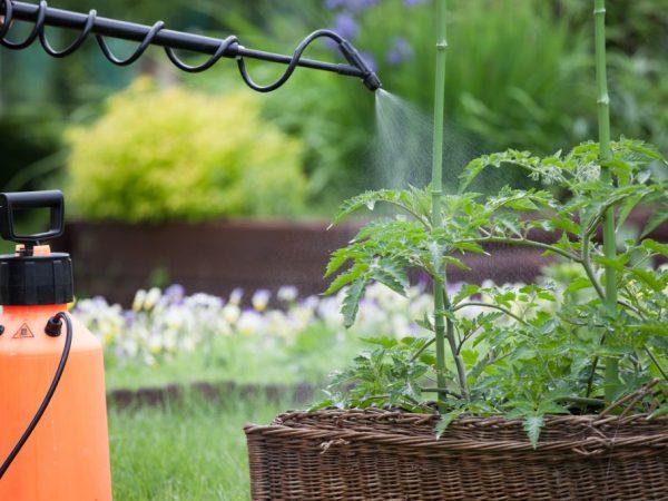 ВНЕКОРНЕВАЯ ПОДКОРМКА. Все мы хорошо знаем, что такое внекорневая подкормка. Растение может поглощать элементы питания любыми надземными частями, включая листву, стебли, плоды и даже цветы. При