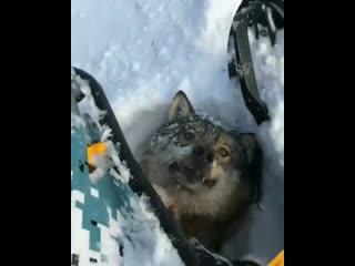 Волк попал под снегоход (уважайте зверей )
