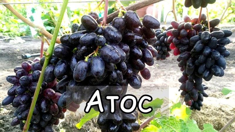 Виноград Атос Ультра ранняя гибридная форма Grapes Athos Ultra Early Form
