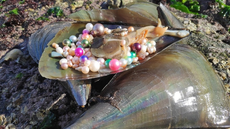 珍珠,开蚌,每种贝壳产出的珍珠都不一样,你见过几种?