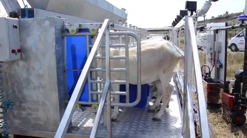 Козий доильный зал на 12 коз Melasty®