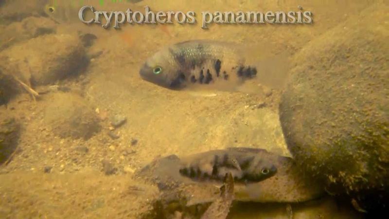 Cryptoheros panamensis Rio Torti