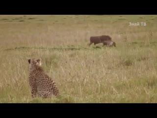 МАТЕРИ В ДЕЛЕ! Как самки животных защищают детёнышей.mp4