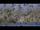 Охота СОТНИ налетов Гуси утки киборги Hunting Hundreds of raids Geese Ducks Cyborgs