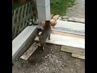 Ничего особенного, просто кот, который поймал тигра