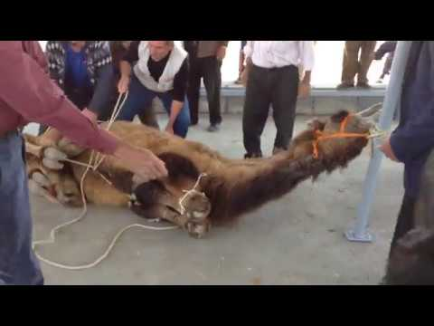 Deve Kesimi,Camel Cutting,قطع الجمل, ALKANLAR HAYVANCILIK Farkı ile Usüllere Uygun Kesim
