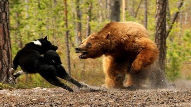 Версус! На что способен медведь самый грозный хищник планеты!