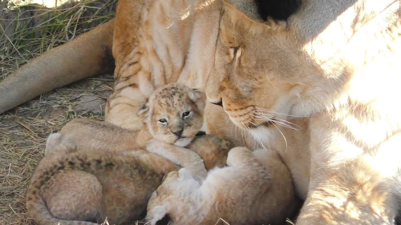 Мамы разные нужны мамы разные важны Тайган Animal moms Taigan