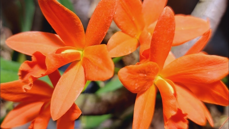 Супер яркая Каттлея Orange 'Golden Satisfaction' Янг Мин Оранж Голден Орхидариум дома