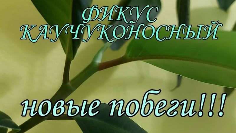 Фикус Каучуконосный дал побеги Что послужило толчком 2020 год 7
