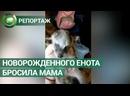 «Толстый пельмень» енот-сирота из Тулы покоряет пользователей Сети