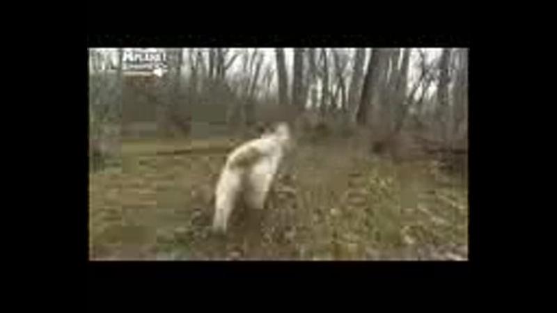 Вандейский бассет гриффон все породы собак 101 dogs Введение в собаковедение