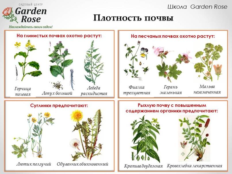 Растения-индикаторы в Вашем саду, изображение №5