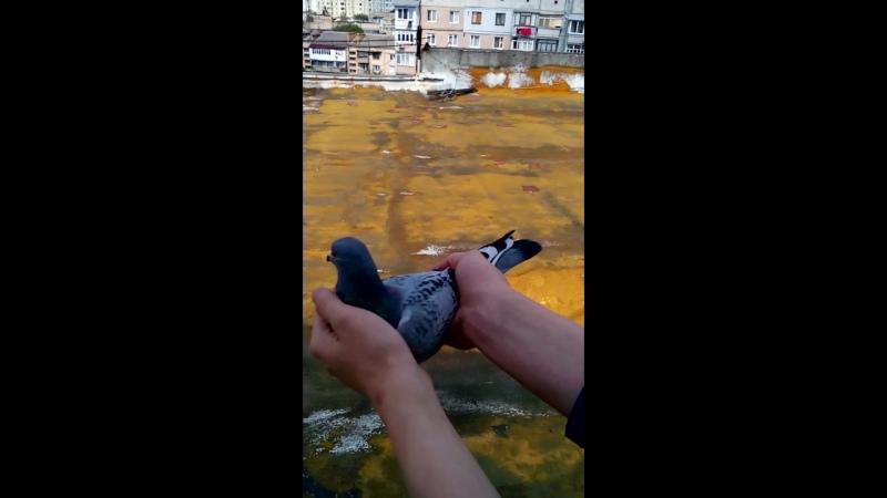 Сьогодні зранку залетіла голубка з польським кільцем но з кембриком на якому був наш номер телефона.Нагодували і випустили чекає