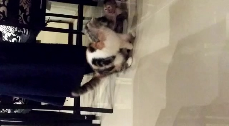 Капуцин плакса, шаловливый мальчик, обезьянка маленькая обезьянка животные кошки экзотическая