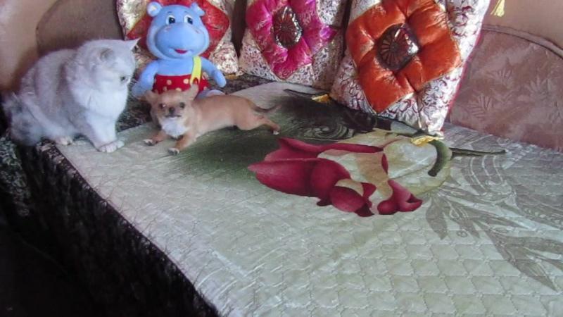 Мини мальчик чихуахуа Кубик Рубик и экзотическая кошка шиншилла