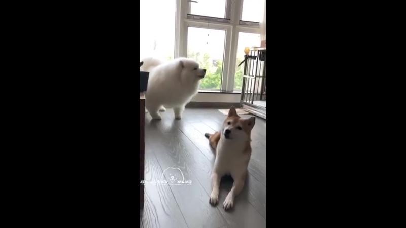 Собакены переговариваются