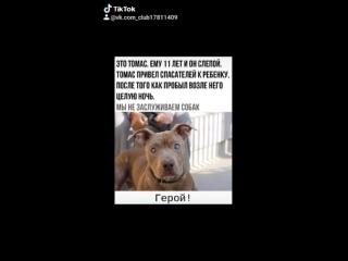 ★★ПИТБУЛИ, СТАФФЫ★★ собаки герои пёс спас свою семью