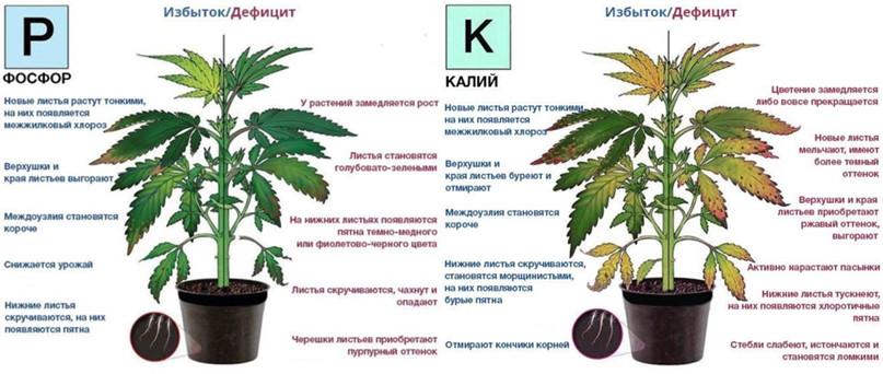 ПРИЗНАКИ ПЕРЕИЗБЫТКА УДОБРЕНИЙ, изображение №4