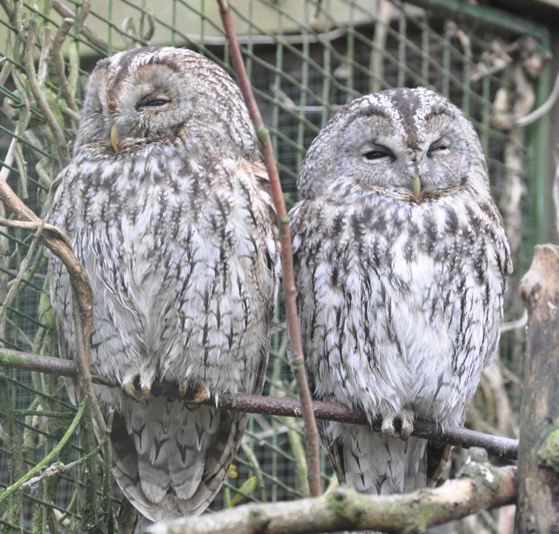Самец и самка серой неясыти