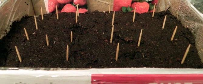 Выращивание ремонтантной клубники, изображение №7