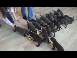 В Воронеже собака породы кане-корсо родила 19 щенков