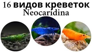 Все виды аквариумных креветок рода неокаридина (neocaridina)