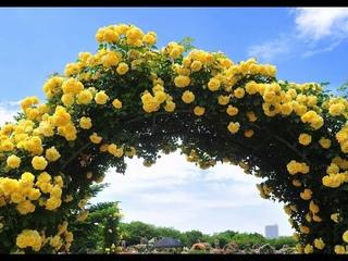 Вьющиеся цветы для Забора, Беседки/БЫСТРОРАСТУЩИЕ Многолетние и Однолетние