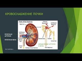ЕГЭ Биология.Мочевыделительная система. 1. Строение почек. Особенности кровоснабжения почек