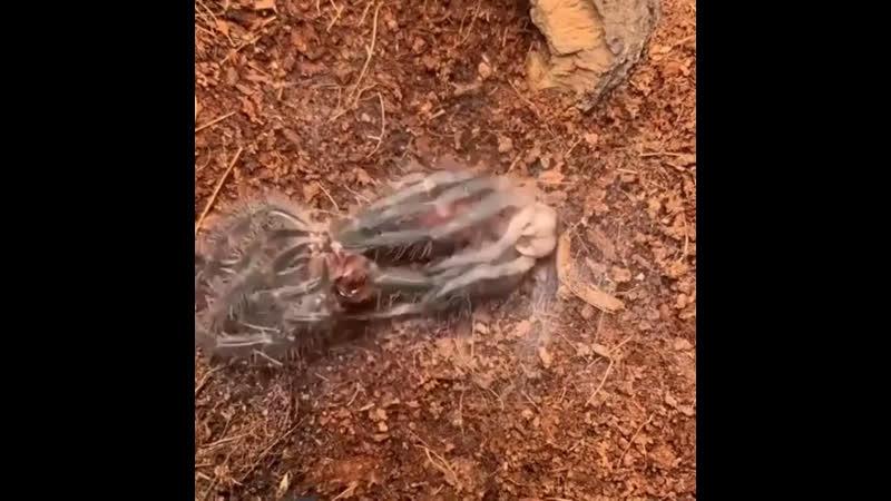 Necro tv: линька тарантула