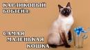 СКИФ-ТОЙ-БОБ Карликовый бобтейл – самая маленькая в мире порода кошек Интересные факты про кошек